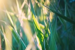 Abstract natural summer background. Green grass on a meadow, close-up, selective focus stock photography