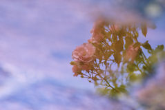 Abstract nature. Flowers reflecting on water surface Royalty Free Stock Image