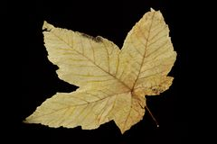 Dry Autumn Leaf On Black Background. Abstract, Nature, Autumn Concept. Dry Autumn Leaf On Black Background. Abstract Nature Background Royalty Free Stock Photos