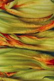 Cropped shot of zucchini buds. Zucchini blossoms, close up. Abstract nature background. Cropped shot of zucchini buds. Zucchini blossoms, close up stock image