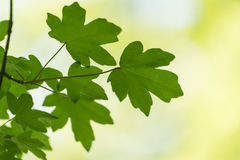 Abstract nature background of green leaves in spring and summer. Stock Image