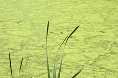 Abstract Nature Background Pond Swamp Water, Algae. Abstract nature background. Swamp water and pond scum algae with a few blades of grass in the foreground stock photo