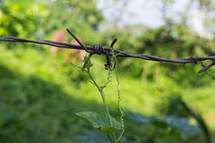 Abstract nature, climbing plant grows over barbed wire Royalty Free Stock Photography
