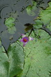 Abstract nature lotus pond. Wildlife, fauna and green abstract Royalty Free Stock Image