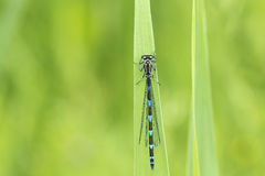 Abstract nature variable damselfly Stock Photos