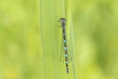 Abstract nature variable damselfly Stock Photography