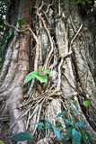 Abstract old banyan tree roots Royalty Free Stock Photo