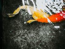 Abstract onduidelijk beeld: de gouden buitensporige karper lange staartvin zwemt onder water Stock Afbeeldingen