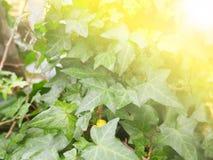 Abstract onduidelijk beeld en zachte natuurlijke groene klimop Stock Afbeelding