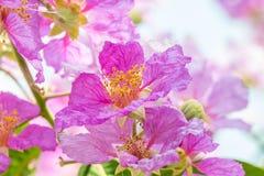 Abstract onduidelijk beeld van purpere bloemen, Lagerstroemia-speciosa, Trots o Royalty-vrije Stock Afbeeldingen
