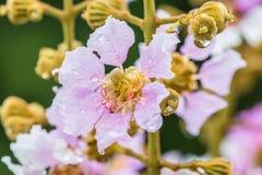 Abstract onduidelijk beeld van purpere bloemen, Lagerstroemia-speciosa, Trots o Stock Afbeelding