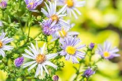 Abstract onduidelijk beeld van purpere bloemen, violet madeliefje Royalty-vrije Stock Afbeeldingen