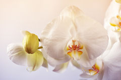Abstract orchid flower background Royalty Free Stock Photos
