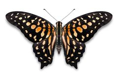 Abstract ornage color Tailed Jay Graphium agamemnon butterfly royalty free stock photography