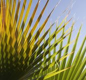 Abstract palm leaf background. Green Abstract palm leaf background Stock Photography