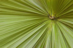 Abstract Palmetto leaf. Closeup of a palmetto leaf from a Palmetto bush which grows in the tropics, this is in Florida Royalty Free Stock Photography