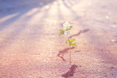 Abstract pastel color tone white flower growing on crack street Stock Image