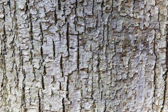 Abstract pattern of bark on tilia cordata or little leaved linde Stock Photography