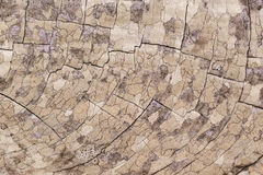Abstract pattern on end of cut log. Near Half Moon Bay, California Royalty Free Stock Image