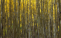 Abstract Pattern of Golden Aspen Forest Stock Photos