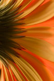 Abstract Petals. The back of an orange daisy stock photo