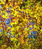Abstract photo of backlit autumn leaves. Abstract photo of backlit leaves on a tree in autumn, with short depth of field and blue sky in the background Stock Photos