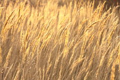 Abstract photo of golden sedge Stock Photography