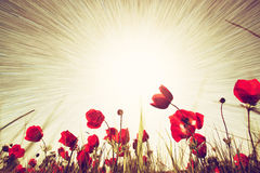 Abstract photo of low angle view of red poppies against sky with light burst.  stock photo