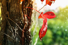 Abstract photo of red autumn leaf on the old tree Stock Images