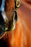 An abstract photo of the Thoroughbred racing horse. An abstract photo of the Thoroughbred horse. This breed best known for its use in horse racing Stock Images