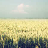 Abstract photo of wheat field and bright bokeh lights. Stock Images