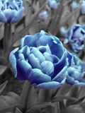 Abstract picture of blue tulip Royalty Free Stock Photography