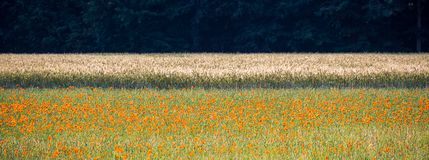 Abstract picture of a wheat field with poppy in the foreground and a dark forest in the background. Early summer in Germany Stock Photo