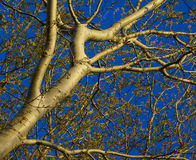 Abstract picture of white poplar Royalty Free Stock Photography