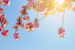 Abstract pink cherry blossom against blue sky Royalty Free Stock Photo