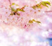 Abstract pink cherry blossom background with copy space. Blurry unfocused background with a sakura blossom twig Stock Images