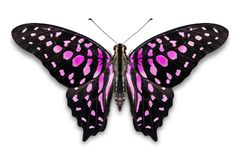 Abstract pink color Tailed Jay Graphium agamemnon butterfly stock photos