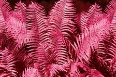 Abstract pink fern leaves background close up, fantastic red color bracken foliage texture, decorative purple tropical frond leaf. Pattern, futuristic floral royalty free stock photography