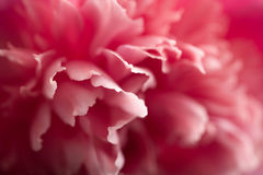 Abstract pink peony flower royalty free stock photo