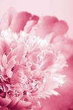 Abstract pink peony flower Royalty Free Stock Image