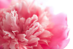 Abstract pink peony flower isolated Royalty Free Stock Images