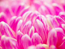 Abstract pink petals. In depth of field focus Royalty Free Stock Image