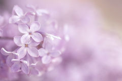 An abstract pink purple floral background. A pink and purple small flower background with blurring on the right for text Stock Images