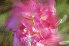 Abstract pink rose flower Stock Image