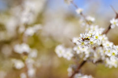Abstract pink spring background with cherry sakura blooms, early Royalty Free Stock Images