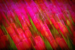 Abstract Pink Tulips Blur Background Royalty Free Stock Photography