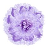 Abstract pink-violet flower in watercolor style. Flower isolated on white background with clipping path. Close-up.For design, text. Ure, cover, postcard. Nature Stock Illustration
