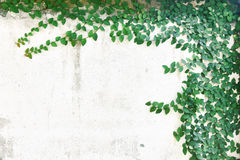 Abstract plant wall background, The Green creeper plant with small yellow flower on grunge old house wall royalty free stock photography