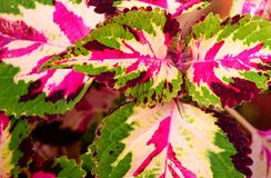 Abstract Polychrome Leaves Nature Background - Hybrid Coleus Blumei - Plectranthus Scutellarioides. This is an abstract nature background containing multicolor Stock Images