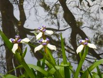 Abstract pond reflection with delicate marsh blossoms. royalty free stock images